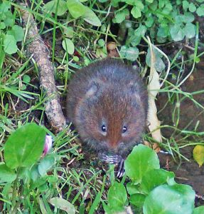 A water vole nibbles its feed at the edge of the Foss. Photo by Tony Ellis.