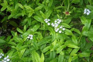 Water forgetmenot in flower