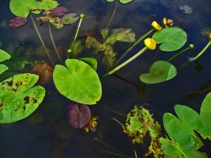 Nuphar Lutea flowering