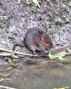 A water vole feeds at the edge of the river. Photo Tony Ellis.