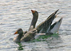 Greylag geese. Photo by Jill Packenham, courtesy of BTO.