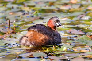 A little grebe on the water. Photo by John Harding, courtesy of BTO.