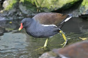 A moorhen. Photo by John Harding, courtesy of BTO.