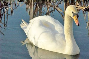 A mute swan. Photo by Rob Robinson, courtesy of BTO.