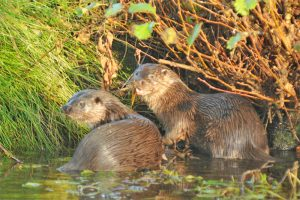 Otters. Photo courtesy of BTO.
