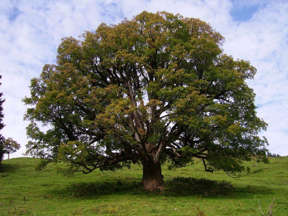 Sycamore (Acer Pseudoplatanus )