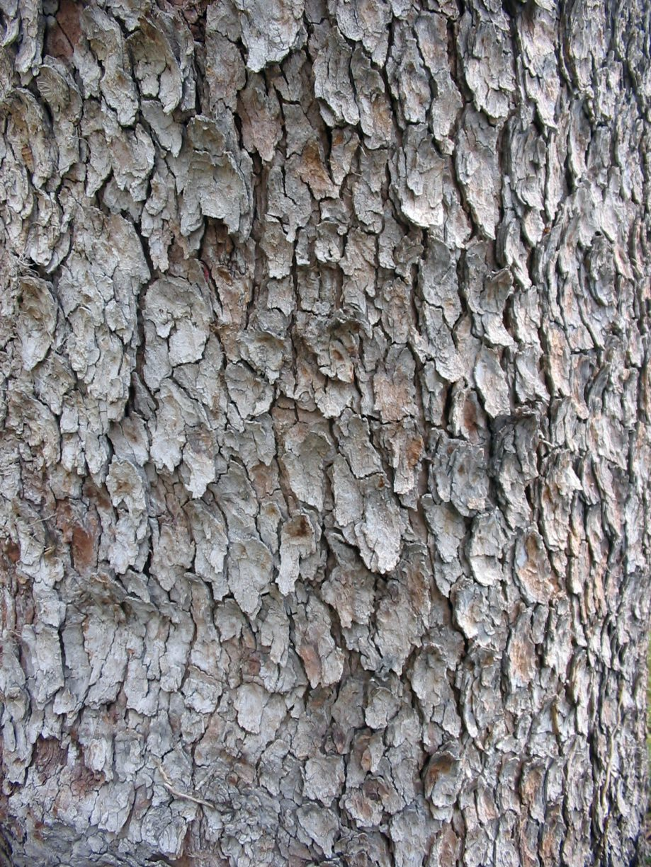 Acer Pseudoplatanus bark