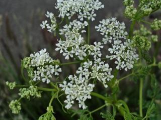 Conium Maculatum in flower