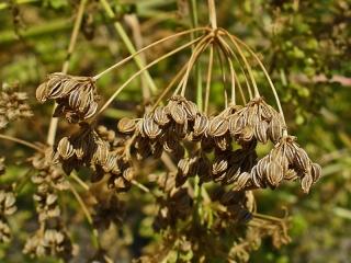 Conium Maculatum seeds