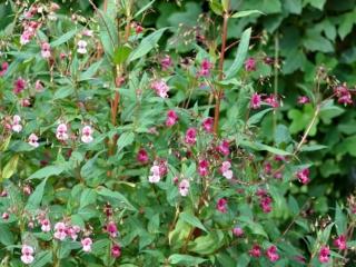 Impatiens glandulifera (Himalayan balsam)