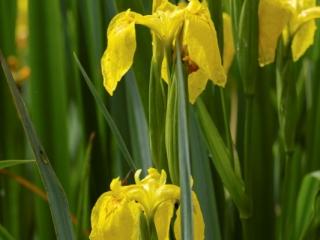 Iris Pseudacorus in flower