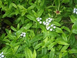 Water forgetmenot in flower