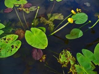 Nuphar Lutea flowering