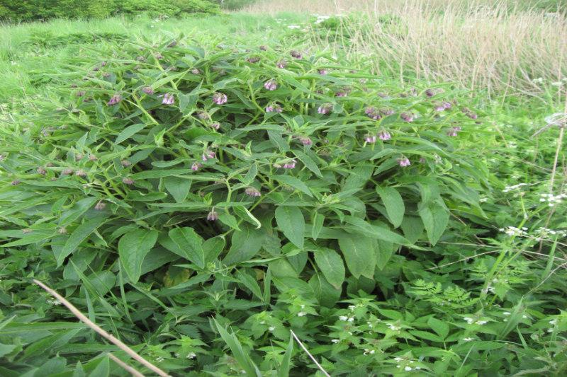 Symphytum Xuplandicum