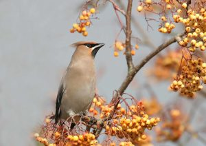A waxwing. Photo by John Harding, courtesy of BTO.