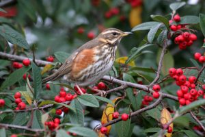 A Redwing.  Photo by John Harding, courtesy of BTO