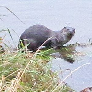 foss-otter-web-cropped
