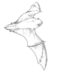 A Noctule bat in flight. Illustration by Tom McOwat.