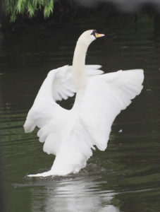 Swan on the Foss photographed by Martin Hathaway