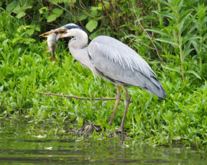Grey heron on the Foss photographed by Martin Hathaway